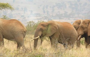 A group of male African elephants