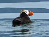Tufted puffin (Fratercula cirrhata), Glacier Bay National Park and Preserve, 2014