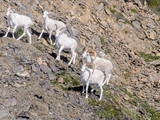 Dall sheep, Wrangell-St. Elias National Park & Preserve, 2015