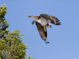 Osprey in flight, Yellowstone National Park, 2014