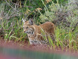 Bobcat, Black Canyon of the Gunnison National Park, 2013.