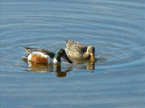 Northern shovelers (Anas clypeata), Lake Clark National Park & Preserve, 2015